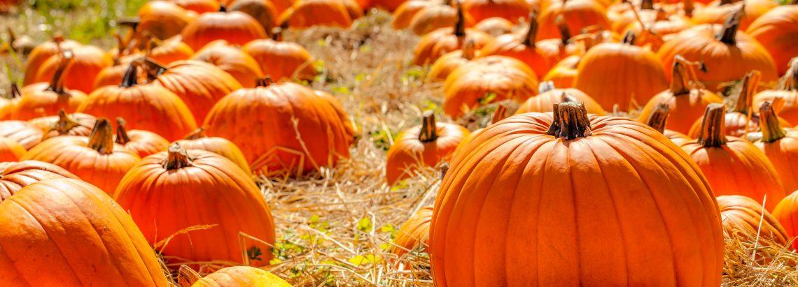 Pumpkins backlit in a straw field pumpkin patch